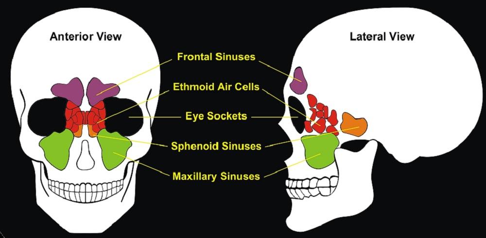 paranasal sinuses frontal ethmoid sphenoid maxillary
