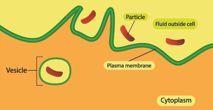 phagocytosis immunity innate