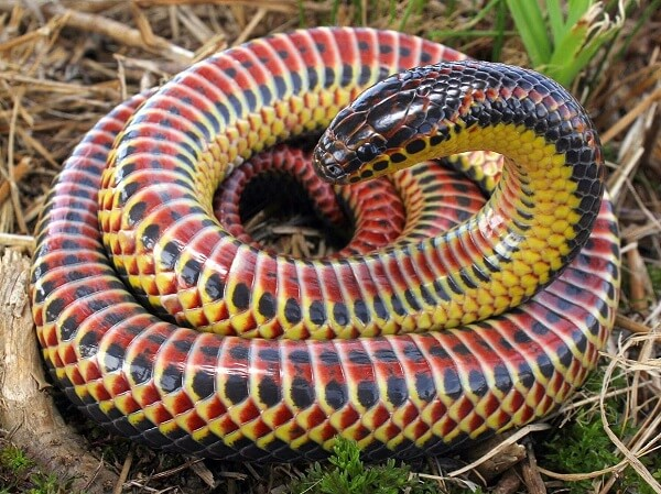 Rain bow snake with yellow coloring on the side of its head and body.