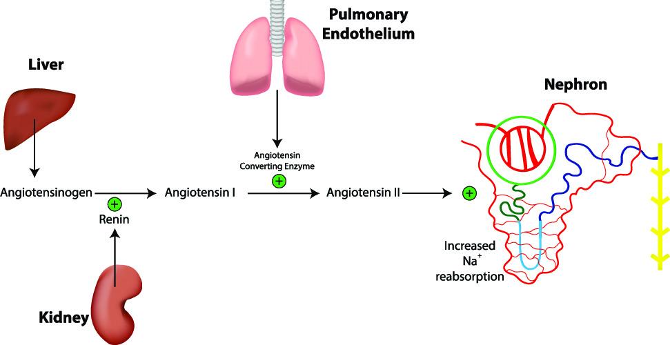RAS RAAS renin angiotensin system
