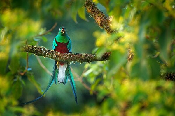 Resplendent quetzal sat on a branch with fruit in its beak