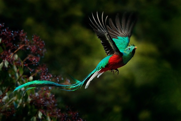 Resplenent quetzal displaying its long tail while flying