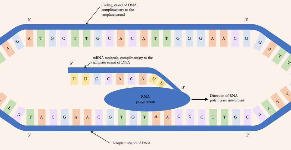 rna polymerase protein synthesis nucleobases transcription