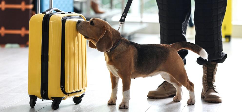 sniffer dog customs border control canine IGF-1