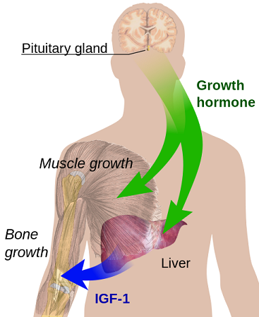 somatotropic axis growth hormone IGF-1 pituitary gland IGF-1