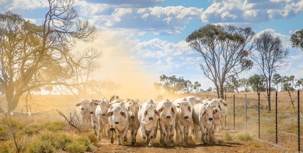stampeding cattle fight or flight response adrenaline cortisol