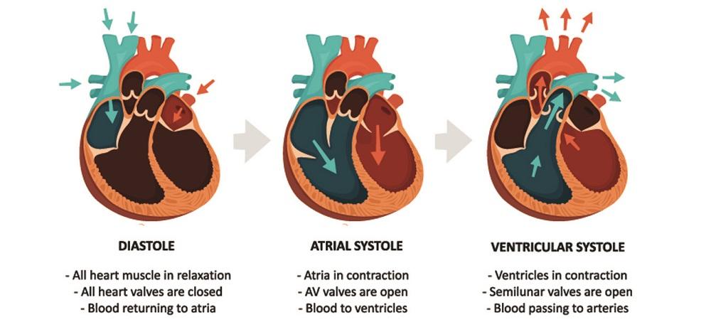 atrial systole diastole ventricular blood pressure