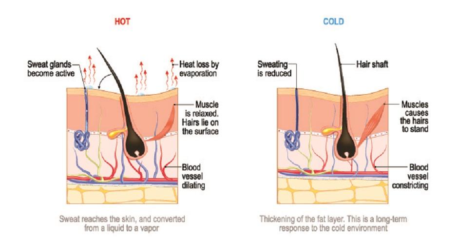 thermoregulation vasoconstriction vasodilation skin sweat hair
