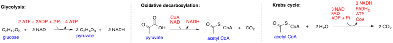 pyruvate acetyl coenzyme a coa