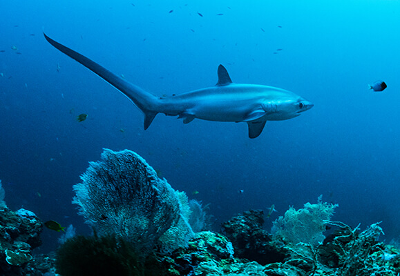Thresher shark viewed from the side swimming near a coral reef
