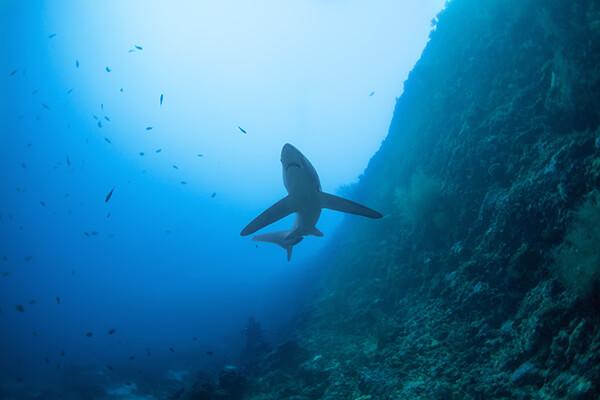 Thresher shark swimming near ocean floor