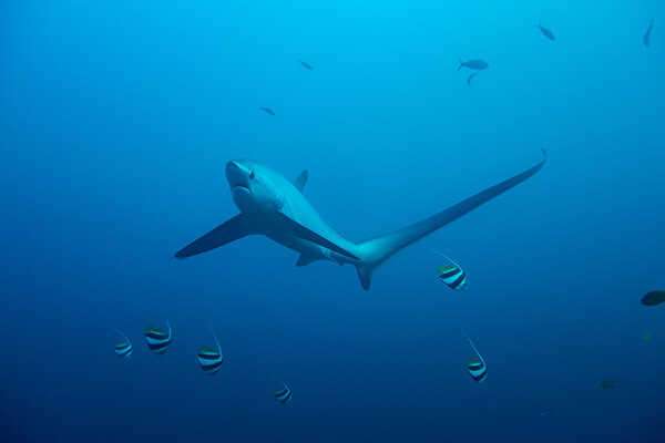 Thresher shark swimming in water column surrounded by small fish