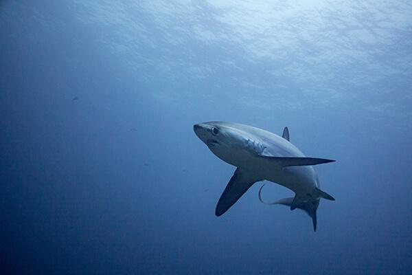 Thresher shark swimming near surface