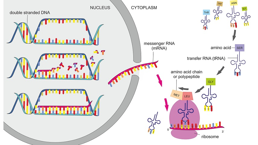 transcription translation protein synthesis DNA RNA polypeptide