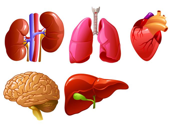 vital organs vasodilation vasoconstriction blood supply circulatory system
