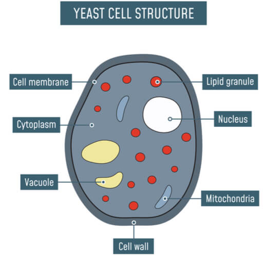 Cartoon of yeast structures highlighting the cell wall, cell membrane, vacuoles, cytoplasm, mitochondria, lipid granules, and nucleus