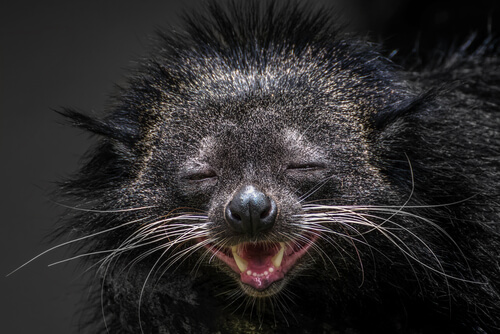 A Binturong that appears to be smiling