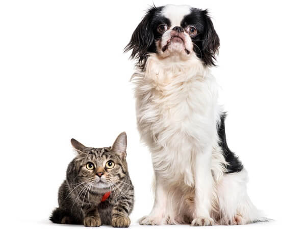Japanese Chin share many traits with cats, such as the behavior of cleaning their face with their forelimbs.