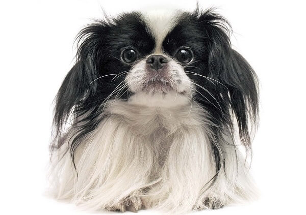 The Japanese Chin is a small breed of dog with white and black or white and brown coloration.
