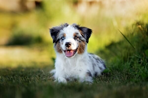 """A puppy shows the typical """"blue merle"""" coloration that includes blacks, grays, and spots of brown in a white coat."""
