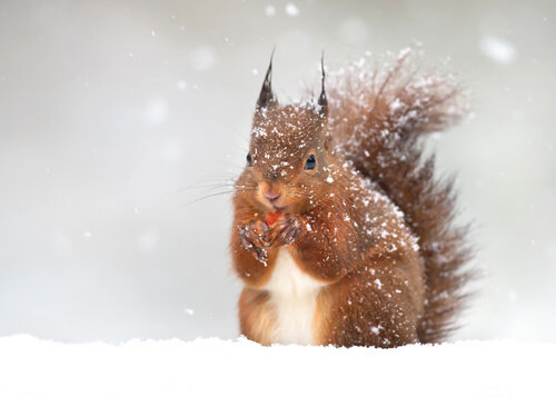 A red squirrel eating in a snowy scene