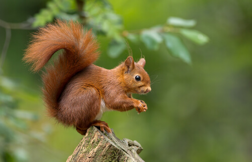 A red squirrel perches on a log on its hind legs