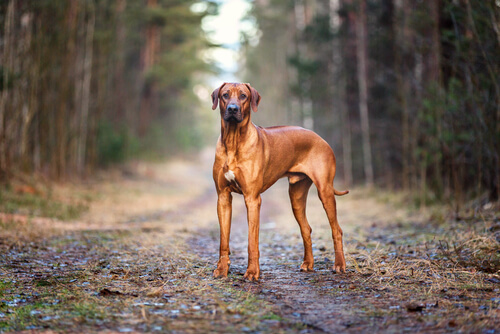 A Rhodesian Ridgeback standing tall on a forest road