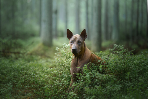 A Thai Ridgeback looking off camera in a mystical forest setting