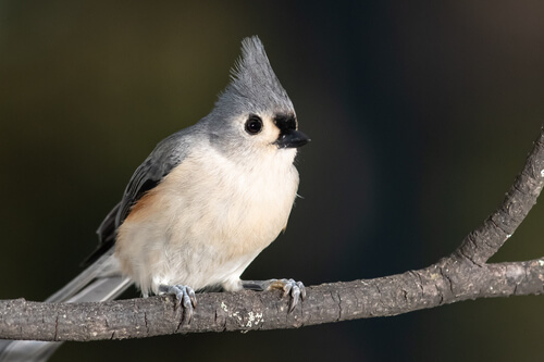 A Titmouse perched on a branch against a blurry dark background