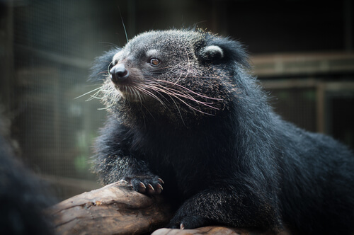 A binturong resting with its arm on a log