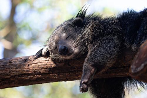 A binturong sleeping in a tree