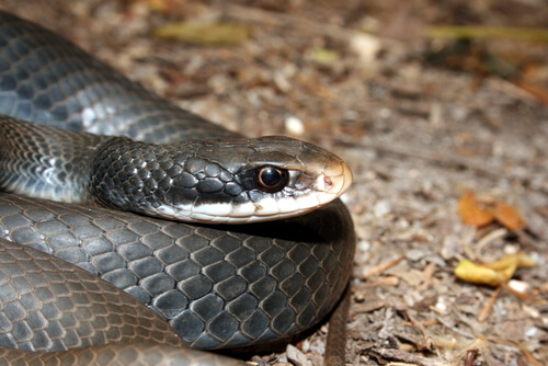 A black racer snake appearing ready to attack prey