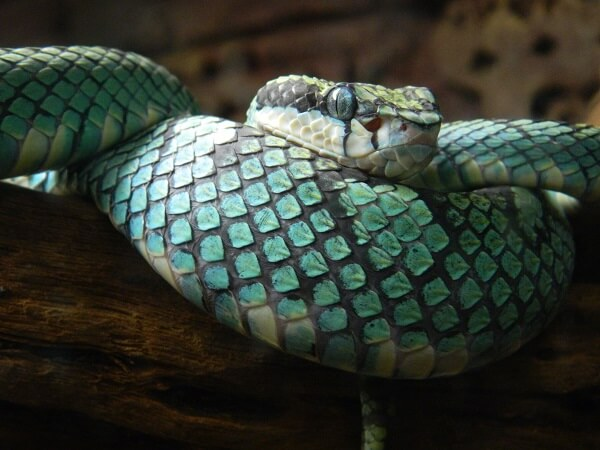 A-blue-colored-Sri-Lankan-pit-viper-1.jpg