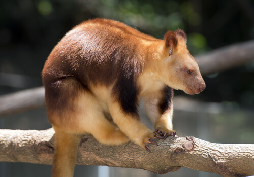 A tree kangaroo sitting on a log looking downward
