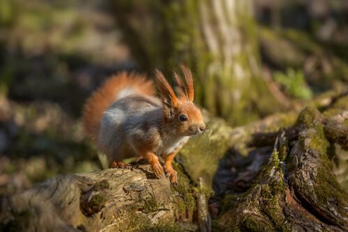 A red sqiuirrel showing off its ear tufts whiles perched on a log
