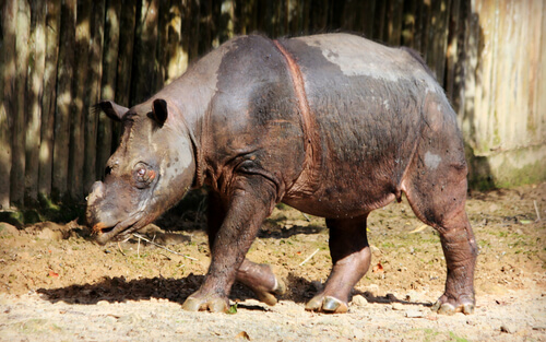 A Sumatran rhinoceros walks near a brown fence