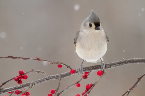 A tTitmouse perched on a branch with bright red berries with snow falling