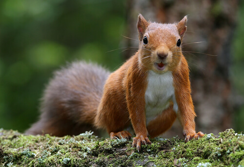 An American red squirrel lacking the distinctive ear tufts of a Eurasian squirrel perched on a mossy log