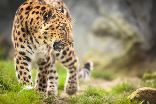 Amur leopard walking i a forest showing teeth