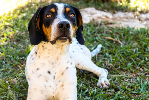 An American Foxhound with dark head color and a spotted white head resting on the grass