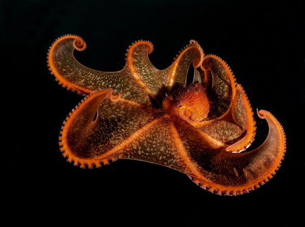 An umbrella octopus spreads its arms, showing the flexible skin in between that can form a net around prey.