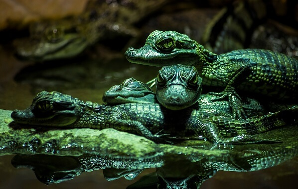 A group of baby spectacled caimans in the water