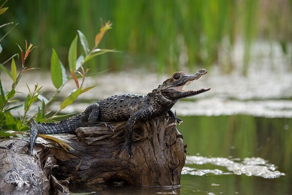 A black caiman basking next to a waterbody