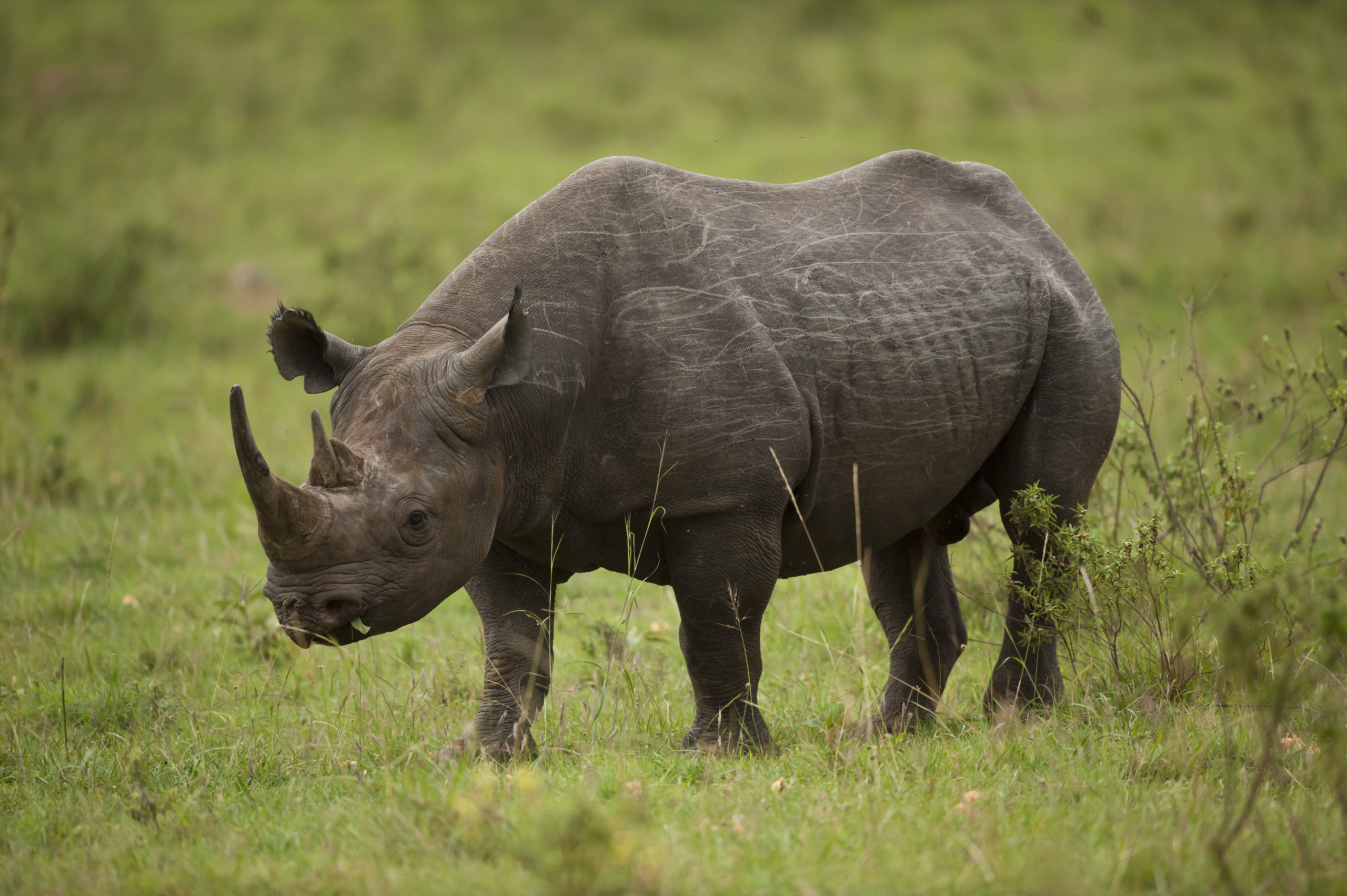 A Black rhinoceros standing in a green field of grass and shrubs