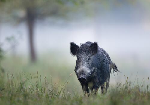 A dark-colored wild boar walking in grass