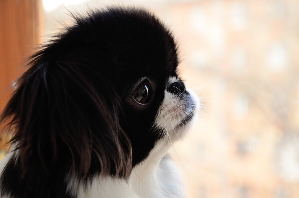 """The face of the Japanese Chin is highly shortened, a condition known as """"brachycephalic."""""""