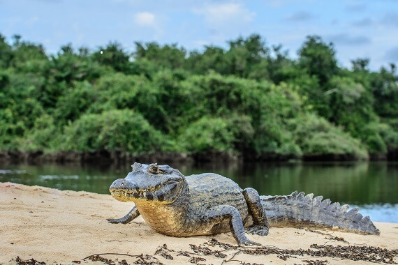 A broad-snouted caiman on a river bank
