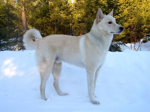 A cream colored Canaan dog int he snow