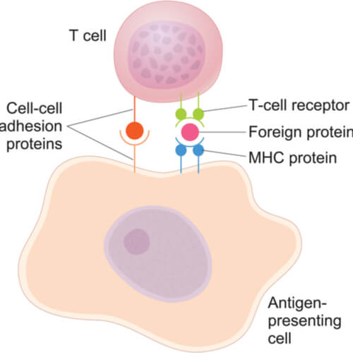 Beige dendritic cell presenting an antigen to a T cell by connecting to the T cell receptor