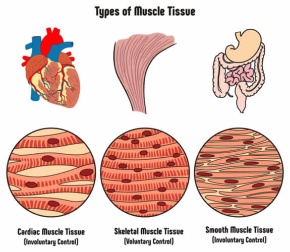 Image detailing the general appearance of cardiac, skeletal, and smooth muscle cells with their associated organs